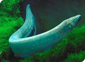 Electric Eel Current