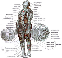 torque in the deadlift the physics of powerlifting : deadlift diagram - findchart.co