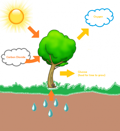 Image from: http://workwild.ca/2012/11/29/trees-what-age-is-a-good-age ...